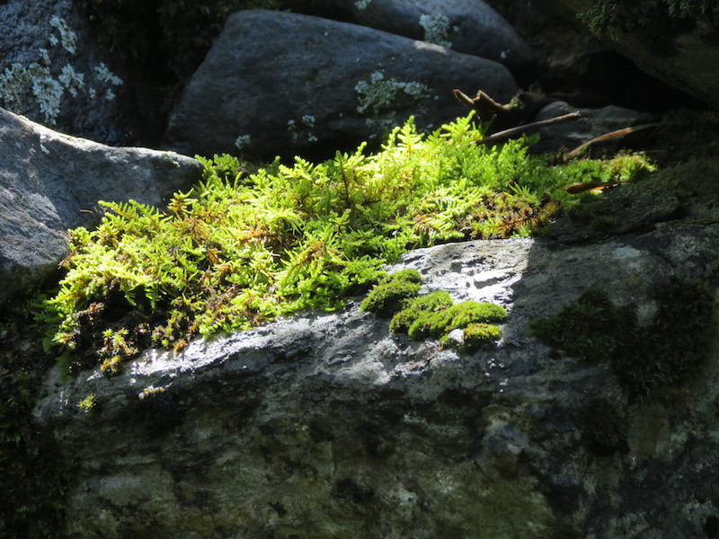 Moss covered stone wall along trail from Barruera to Durro